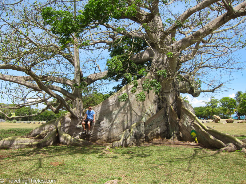 Centuries old Ceiba tree
