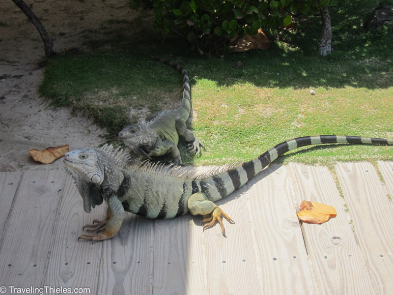 Freakin huge iguanas on Palomino island near El Conquistador