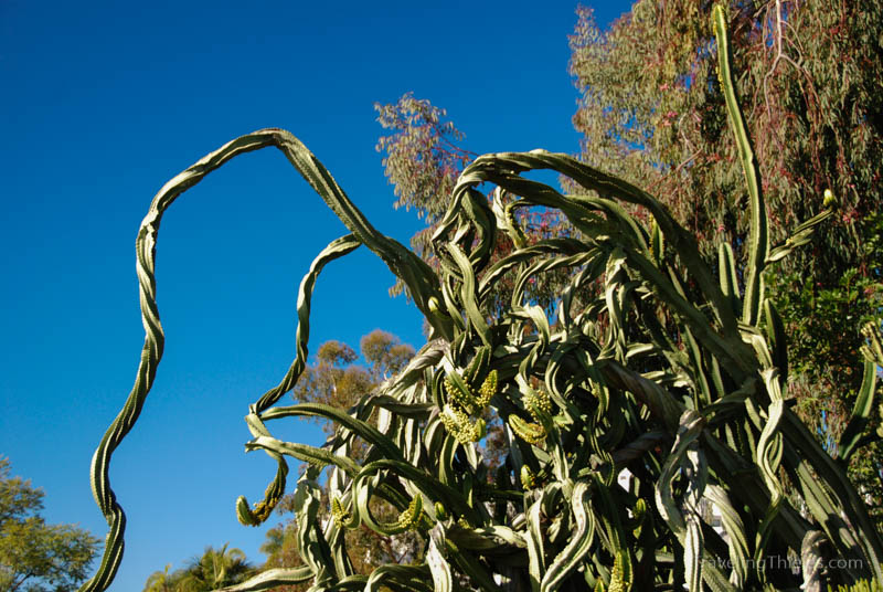 Cactus in Balboa park